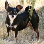 Adopted!  1/15! Snickers » 3R Rescue