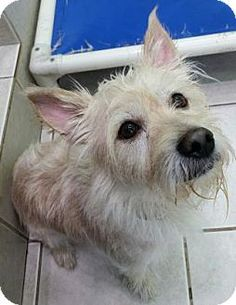 10/16/15 Philadelphia, PA - Terrier (Unknown Type, Small) Mix. Meet Devin, a dog for adoption. http://www.adoptapet.com/pet/14072509-philadelphia-pennsylvania-terrier-unknown-type-small-mix