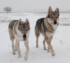 Czechoslovakian wolfdog pair in winter Wolf Images, Wolf Pictures, Beautiful Dogs, Animals Beautiful, Cute Animals, Wolf Poses, Czechoslovakian Wolfdog, Saarloos, Wolf Husky