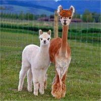 Alpaca Farm Open House - A Free Family Event