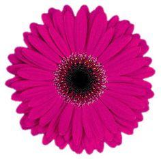 Gerbera Daisy - mine and my hubby's combined favorite flower. Gerbera Daisy Tattoo, Pink Gerbera, My Flower, Flower Power, Daisy Love, Daisy Art, Gerber Daisies, Sunflower Art, Nature Plants
