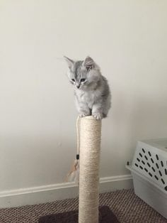Nadia is still trying to figure out how the scratching post works http://ift.tt/2hi86oG