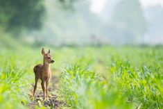 beige baby deer on brown soil between green grasses at daytime Bambi Animals Images, Animals And Pets, Animal Pictures, Wild Animals, Nature Animals, Best Deer Attractant, Dog Hot Spots, Animal Tv, Photos Of Eyes