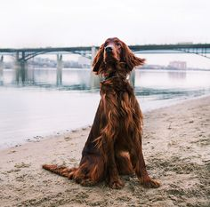 Irish Setter, by Lisa Nagorskaya.