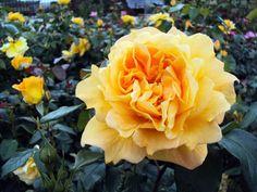 Beetrose Bernstein Rose ® Züchter Rosen Tantau 1987