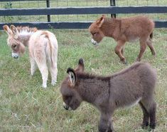 Doesn't get cuter than this. Lovely animals!  All colors.     Courtesy: Satroma Ranch Miniature Donkeys, Texas (USA).