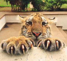 Cute baby tiger.