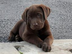 Labrador! What a cute lil Chocolate Puppy! http://mamabearplus6.wix.com/fortheloveoflabs