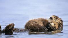 Otter love - sea Otter and newborn pup Baby Otters, Baby Animals, Funny Animals, Cute Animals, Wild Animals, Animal Babies, Beautiful Creatures, Animals Beautiful, Animal Kingdom