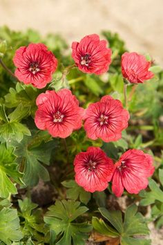 GERANIUM CINEREUM 'JOLLY JEWEL™ SALMON' * Cranesbill