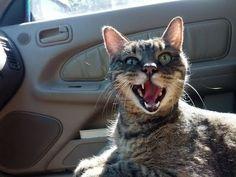 Смешные коты в машине. ПОДБОРКА