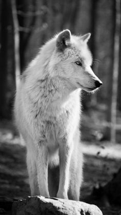 Save the Wolves!