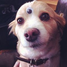 A dog wearing a plastic eye in the middle of its forehead.