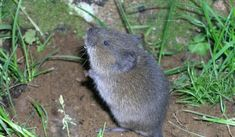 """Vole, common garden pest, related to mice -- Old Farmer's Almanac -- 4-24-17 -- Photo Credit: Washington State University. Many of the same methods that you use to get rid of mice can be used to get rid of voles; after all, voles are commonly referred to as """"meadow mice"""" or """"field mice."""""""