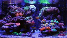 The Ultimate in reefing lighting you mush see today. Get this mod and to enhance coral coloration and growth. Saltwater Fish Tanks, Saltwater Aquarium, Aquarium Fish, Aquarium Ideas, Tropical Freshwater Fish, Freshwater Aquarium, Tropical Fish, Marine Fish Tanks, Marine Tank