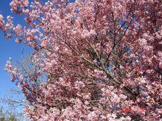 Parque do Carmo realiza a 37ª edição da Festa das Cerejeiras   Catraca Livre