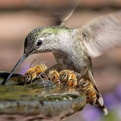 """""""Anna's Hummingbird and Bees"""" by Toshiyasu Morita. Yes this lovely photo is real! It was taken on September 25 at Filoli in Woodside California. They have two water fountains in the sunken gardens which attract both birds and bees on hot days. Nature Animals, Animals And Pets, Funny Animals, Cute Animals, Pretty Birds, Beautiful Birds, Animals Beautiful, Majestic Animals, Tier Fotos"""