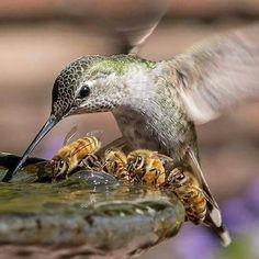 Hummingbird, bees