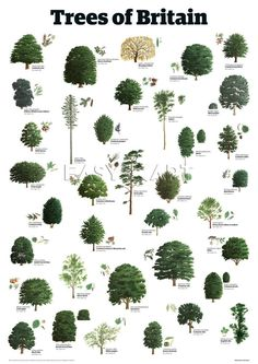 Trees of Britain, Guardian Wallchart Prints from Easyart.com