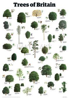 Trees of Britain, Guardian Wallchart Prints from Easyart.com