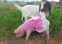 Piglet saved her own life and now lives on a farm and has goat as a best friend! Pet Pigs, Animal Protection, Save Her, Cute Baby Animals, Beauty And The Beast, Goats, Cute Babies, Best Friends, Creatures
