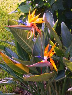 orange bird of paradise flowers with leaves at DuckDuckGo Florida Lanai, Naples Florida, Bali Garden, Home And Garden, Exotic Flowers, Beautiful Flowers, Paradise Flowers, Orange Bird, Calathea