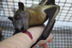 Bat being affectionate with a human