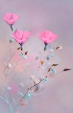 Pink flowers bring pops of cheer to any space. Learn about types of pink flowers and see pink flower images to help you find your perfect plant. My Flower, Pink Flowers, Beautiful Flowers, Flowers Pics, Cosmos Flowers, Flower Images, Cut Flowers, Flower Wallpaper, Planting Flowers