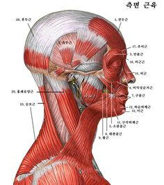 Notice how the central radius of the muscles is the TMJ Facial Anatomy, Head Anatomy, Brain Anatomy, Anatomy Poses, Anatomy Art, Human Body Drawing, Human Anatomy Drawing, Human Body Anatomy, Muscle Anatomy