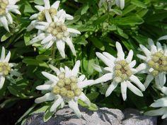 Edelweiss, Germany, Plants, Austria, Switzerland, Beautiful, Kiss, Gardens, Heart