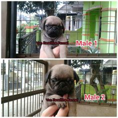 Jual Anak Anjing PUG  2 MALE  DOB 17 MARET 2016  -Stamboem On Progress -Vaksin -Obat cacing teratur  More info : Anni PIN BB 51A22388 Whatsapp 081572985289  Nita PIN BB 5C744007  NO SMS,NO PHP SERIUS BUYER ONLY  Available video and pic for seriously buyer