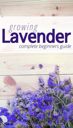 A Beginner's Guide To Growing Lavender in the Garden If you are wanting to grow lavender in pots or