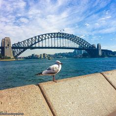SYDNEY  spectacular view at the @operakitchen yesterday  we had intended to sit outside but the seagulls were a little too friendly including this one here who gave me the eye as I was taking this photo of the Sydney Harbour Bridge  duly intimidated we retreated inside for coffee and breakfast with @kristinhatherley by brisbaneexperience http://ift.tt/1NRMbNv