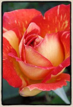 'Harry Wheatcroft' rose