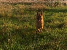 Odiseo corre, German Shepherd