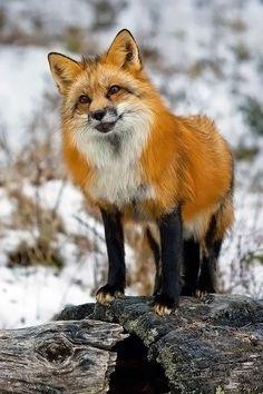 FOX - I love how it looks like foxes wear black stockings.