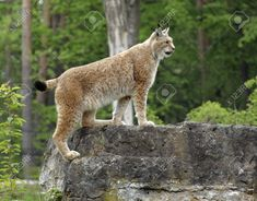 Image result for eurasian lynx