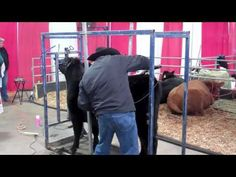 Clipping and Grooming Cattle on Show Day