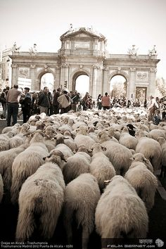 *SPAIN ~ Transhumance Festival in Madrid by historical Canadas Reales. The herds left the pastures north to pass winter pastures south. This yr 3,500 head of cattle from Cantabria took the center of Madrid. On their way through the Plaza de la Villa, make delivery of 160 maravedis as toll to pass through the city.