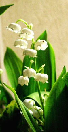 French husbands present their wives with a bouquet...French-lily-of-the-valley....on May Day. Read the whole story here.