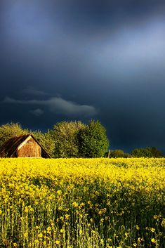 stormy skies over a mustard field