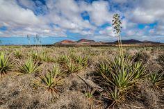 Aloe Vera - Old land for the Aloe Vera cultivation in Fuerteventura near Corralejo. www.danielepezzoni.it