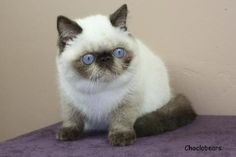 Exotic Shorthair Cats. Neat markings...