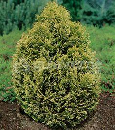 -Chamaecyparis lawsoniana 'Minima Aurea'