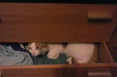 Kitty in drawer  TY Elaine