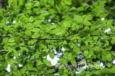 Free Stock Photo for Commercial Use - Green Tree Leaves