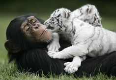 baby tigers with monkey