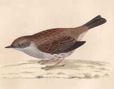Dunnock print . original antique bird plate woodblock . vol III, dated 1853