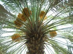 I've become interested in date palm extract lately - I've seen quite a few references to it lately as an anti-wrinkle ingredient, and I wa.
