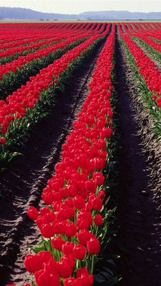 ✯ Red Tulips